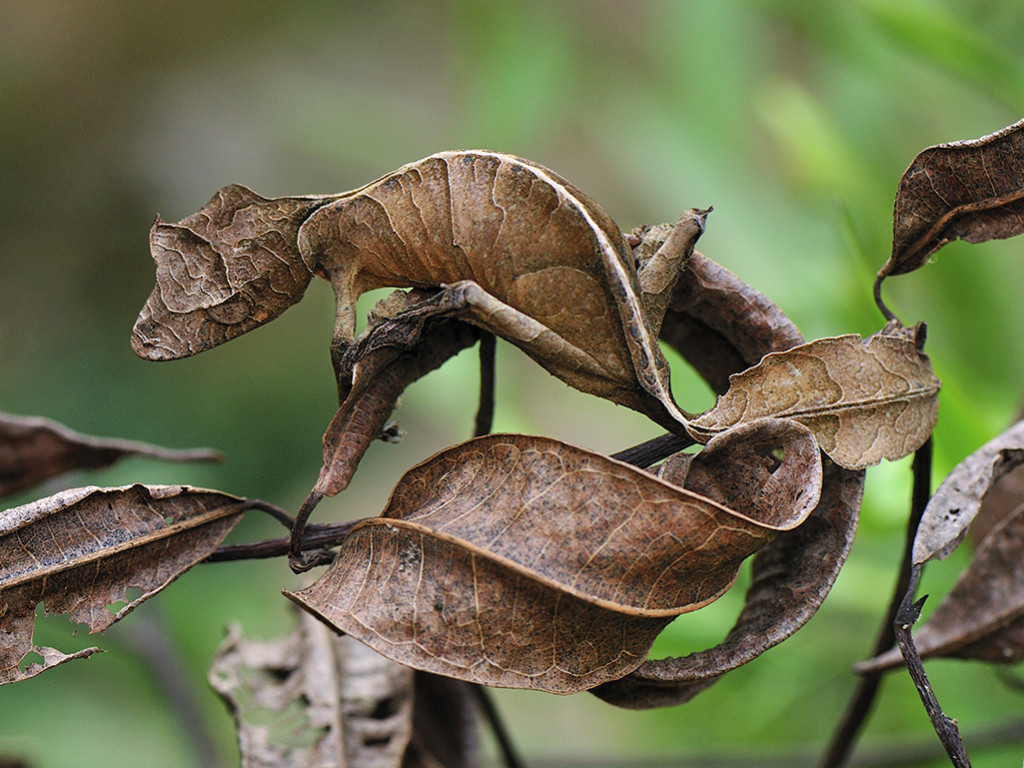 Fantastic Leaf-tail Gecko (Uroplatus phantasticus) mimicking leaves, Andasibe-Mantadia National Park, Madagascar
